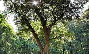 Η Δρυς της οδού Bridegroom: Το μοναδικό δέντρο με το δικό του ταχυδρομικό κώδικα
